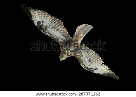 eagle isolated in black background for designer  - stock photo
