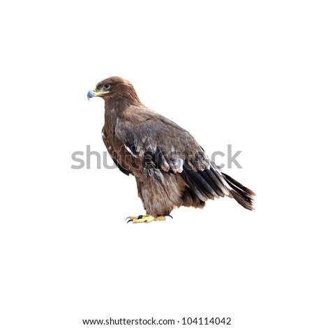 eagle isolated on white - stock photo
