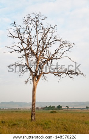 eagle on a dead savannah tree - national park masai mara in kenya - stock photo