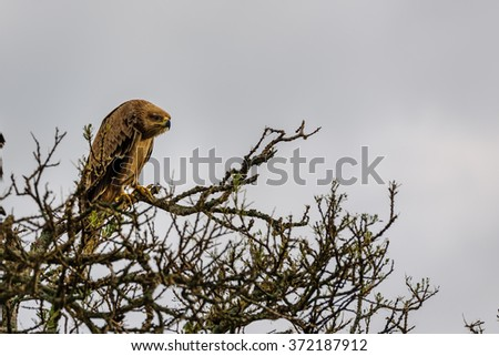 eagle on the tree in the Masai Mara - stock photo