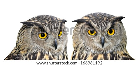 Eagle Owl, Bubo bubo isolated on white - stock photo