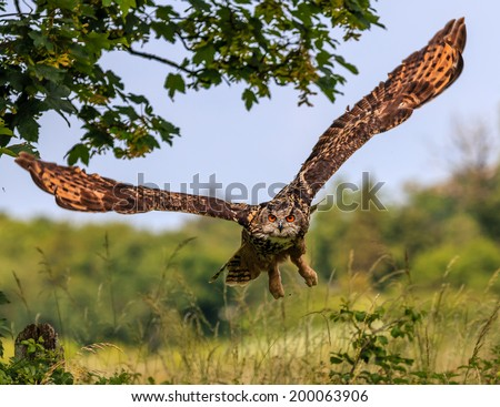 Eagle Owl flying low over a hedgerow - stock photo