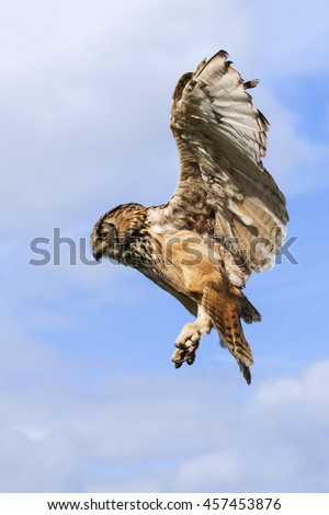 Eagle owl in the air. A large Bengal eagle owl appears to hang in the air as it looks for prey. - stock photo