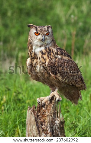 Eagle owl on tree stump. A magnificent eagle owl is seen perched on a tree stump. - stock photo