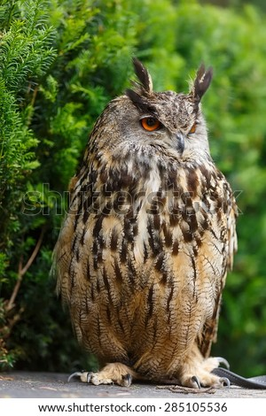 eagle owl portrait - stock photo