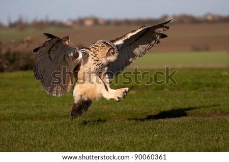 Eagle Owl pouncing on prey - stock photo