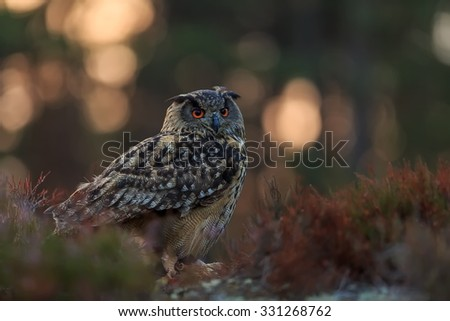 eagle owl sitting in the wood with sunrise - stock photo