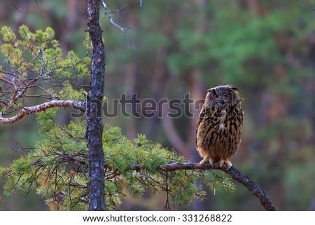 eagle owl sitting on pine with sunrise - stock photo