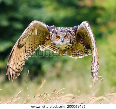 Eagle Owl soars low over a long grassy meadow - stock photo