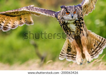 Eagle Owl swoops in low hunting its prey - stock photo