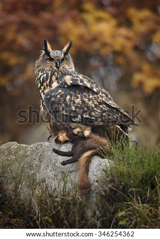 Eagle Owl with caught marten prey, sitting on rock with outstretched wings, distant colorful taiga background