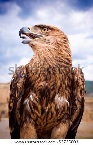 Eagle portrait - stock photo