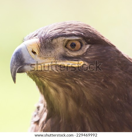 eagle portrait on nature