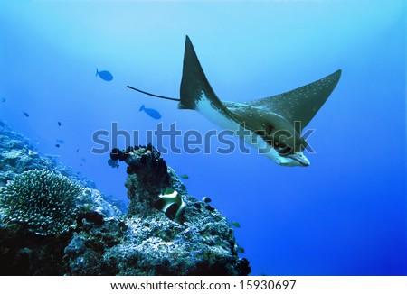 Eagle ray (Aetobatus narinari) . Diving on Maldives. - stock photo