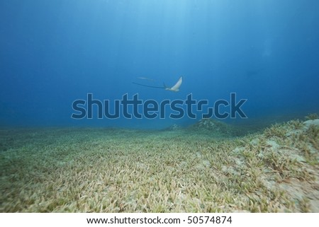 eagle ray and ocean - stock photo