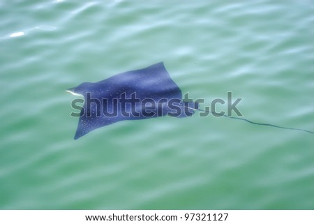 Eagle ray. Eagle ray floats on the surface of the sea - stock photo
