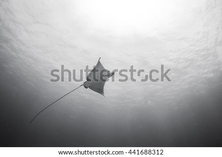Eagle ray, Grand Cayman