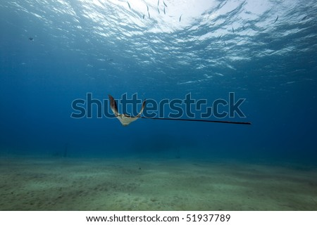 eagle ray, sun and ocean in the Red Sea. - stock photo