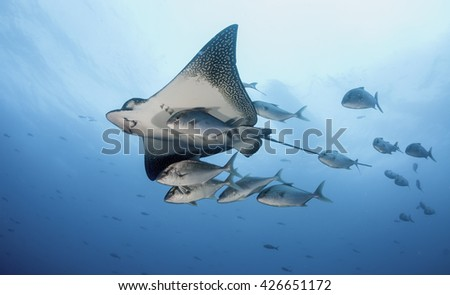 Eagle ray swimming with a small school of jack fish, Galapagos Islands, Ecuador - stock photo
