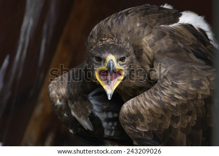 eagle screaming and looking at camera, with open wings - stock photo