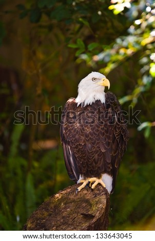 Eagle sitting on a tree stump in the shade