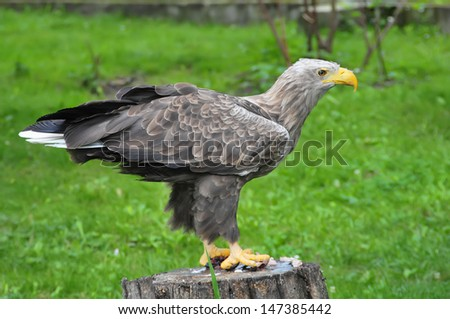 Eagle standing - stock photo