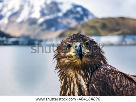 Eagle Stare - stock photo