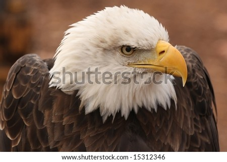 Eagle staring intently into the distance.