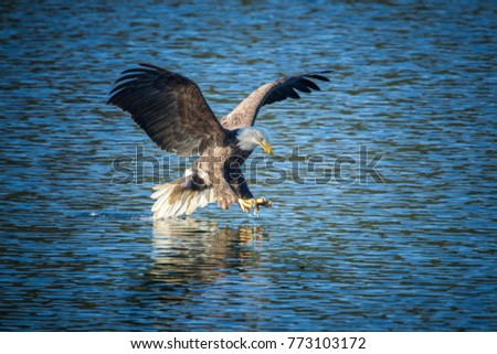 Eagle swoops in for the grab on the surface of the calm blue water of Coeur d'Alene Lake in Idaho.