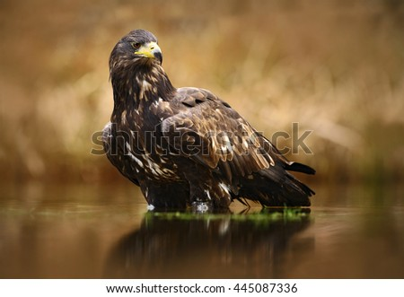 Eagle with fish. White-tailed Eagle, Haliaeetus albicilla, feeding kill fish in the water, with brown grass in background, Poland. Eagle in the water. Feeding scene with eagle and fish. Bird of prey.