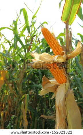 Ear corn in the field. - stock photo