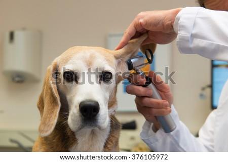 Ear examine by the veterinarian - stock photo