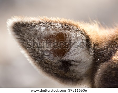 ear of a deer in nature