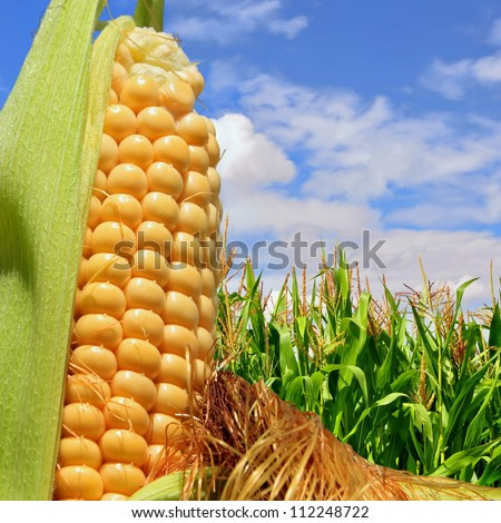 Ear of corn against a field under clouds - stock photo