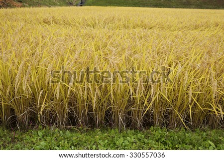 Ear of rice - stock photo