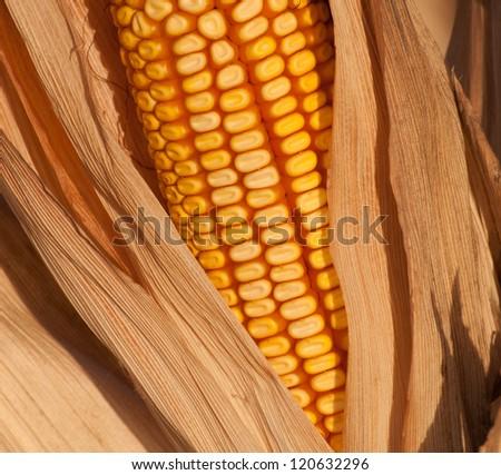 Ear of ripe corn in husk ready for harvest - stock photo