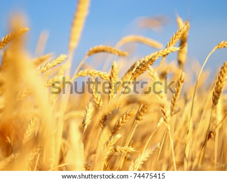 Ear of the wheat on field. Composition of the nature - stock photo
