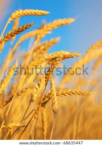 Ear of the wheat on field. Natural composition