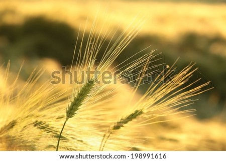 Ear of wheat in the field backlit by the morning sun. - stock photo