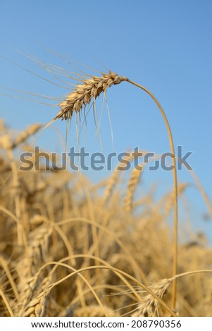 Ear of wheat on a background the field and blue sky  - stock photo