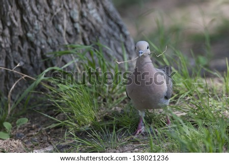 Eared Dove (Zenaida auriculata virgata) collecting nesting material at the Buenos Aires Ecological Reserve in Buenos Aires, Argentina. - stock photo