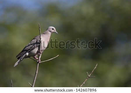 Eared Dove (Zenaida auriculata virgata) resting on a branch at the Buenos Aires Ecological Reserve in Buenos Aires, Argentina. - stock photo