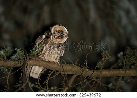 Eared owl (Asio Otus) photographed at night with the use of flash - stock photo