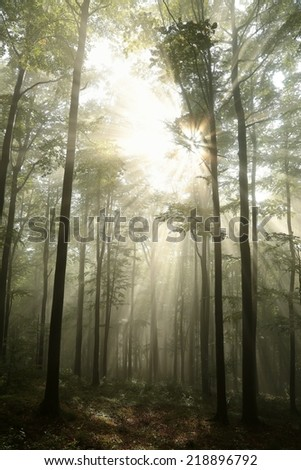Early autumn beech forest at dawn. - stock photo