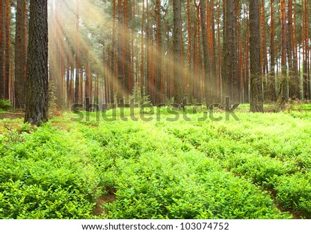 Forest, germany. natural background with first sun rays in pine forest