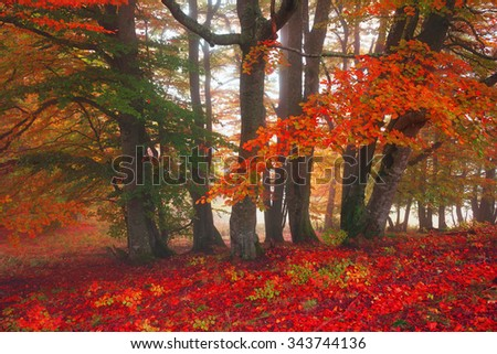 Early morning in the forest after a heavy storm and rain. Forest fog lights, gold and silver rays of the sun illuminate the ancient trunks of beeches and fir trees, beautiful scenic fall colors