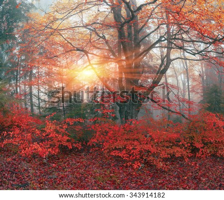 Early morning in the forest after a heavy storm and rain. Forest fog lights, gold and silver rays of the sun illuminate the ancient trunks of beeches and fir trees, beautiful scenic fall colors - stock photo