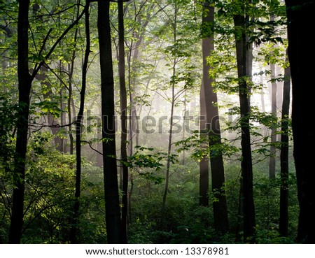Early Morning Light in the Forest - stock photo