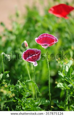 early morning poppy field scene - stock photo