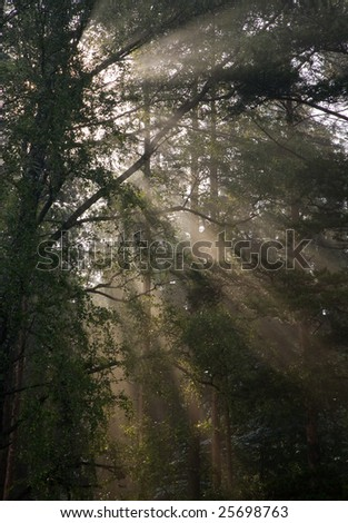 Early morning sun shining through birch branches at foggy forest